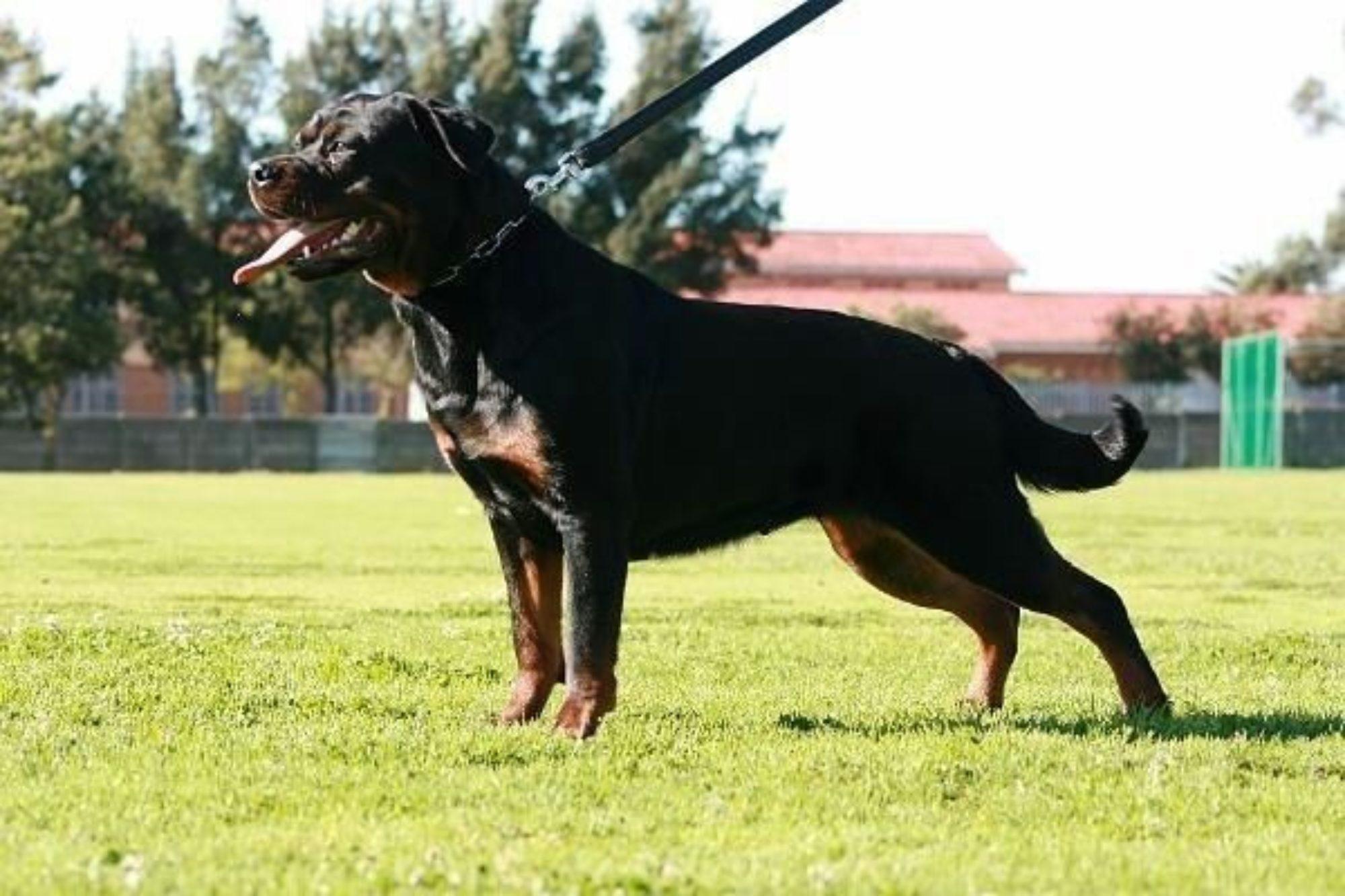 Tighton Rottweilers