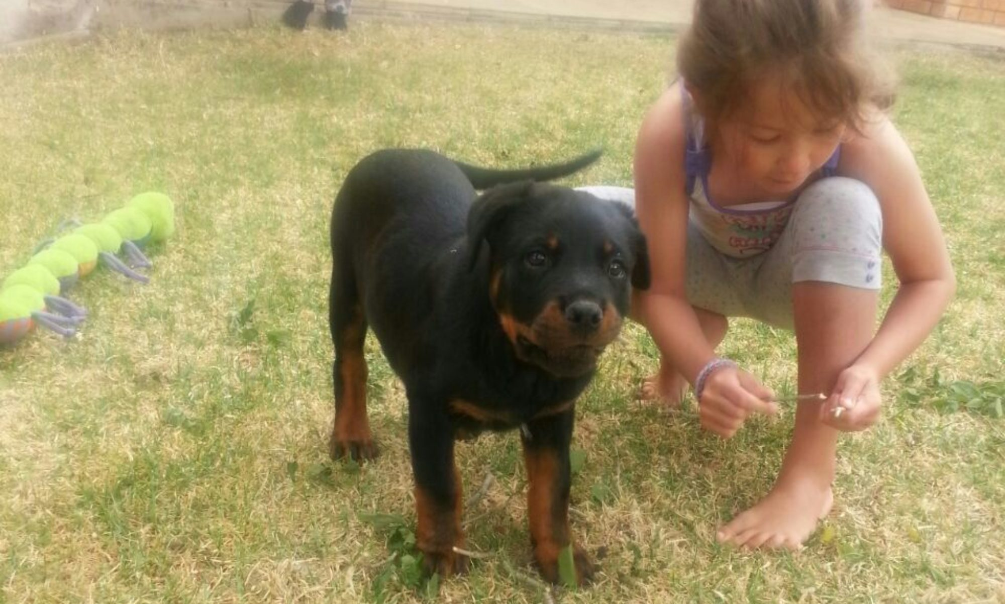 Welcome To Tighton Rottweilers Cape Town Tighton Rottweilers
